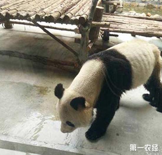 """西安一动物园熊猫因得牙髓炎成""""皮包骨"""""""