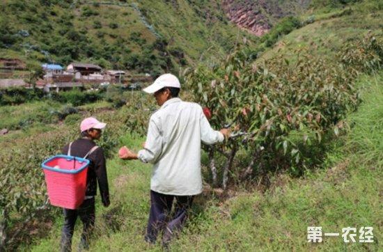"""云南兰坪:沧江雪桃送来""""金山银山"""" 成为村民脱贫致富果"""