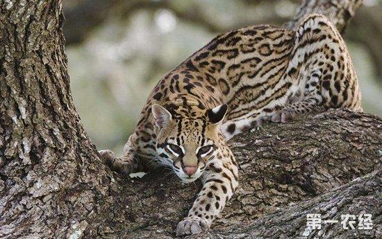 成都市民救下两只豹猫 随后上交相关部门