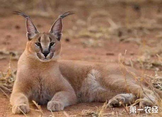 荒漠猫可以饲养吗?一只荒漠猫多少钱?