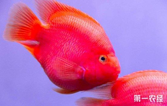 鹦鹉鱼多少钱一条?