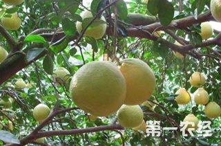 【柚子种植专题】柚子供求动态|柚子种植技术|病虫害