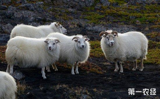 羊冬季有哪些常见病?羊冬季常见病的发病原因及防治方法