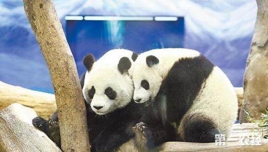 大熊猫团团圆圆误触电网 网友称动物园做法匪夷所思