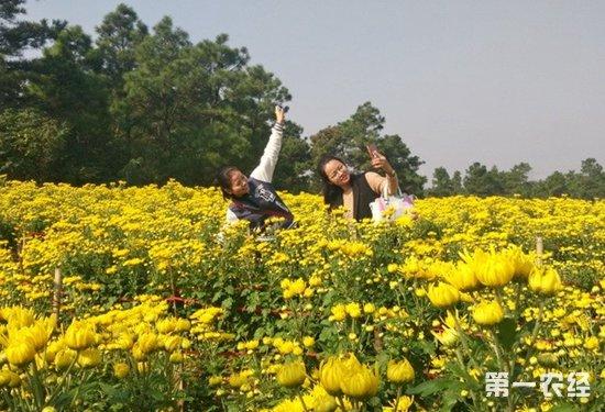 巢湖菊花种植旅游两手抓