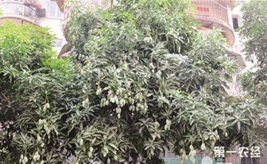 芒果树现在还在结果?龙海农技人员建议大家不要采食