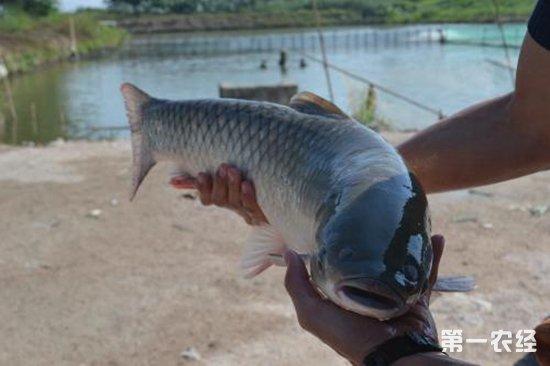 脆肉鲩多少钱一斤?和普通草鱼一样吗?