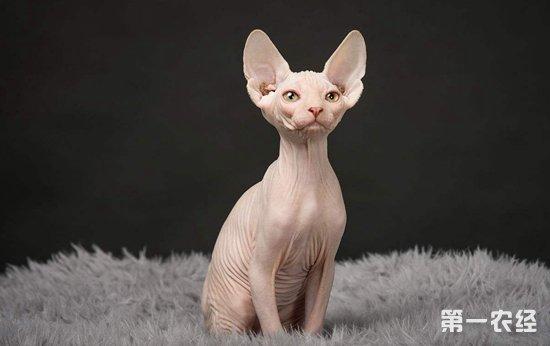 一只斯芬克斯猫多少钱?