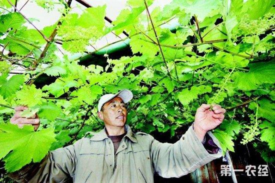 """河南宁陵:温棚葡萄种出""""致富""""宝典"""