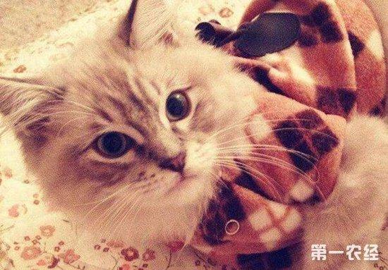 一只褴褛猫多少钱?