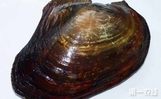 河蚌应该如何养殖?河蚌的养殖技术要点