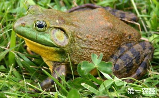 牛蛙怎么养?牛蛙的高效养殖技术