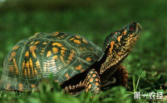 乌龟冬眠期应该如何养?乌龟冬眠期的养殖技术