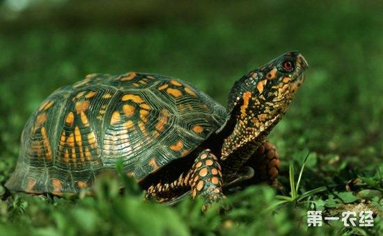 乌龟的养殖技术 如何帮助乌龟进入冬眠状态