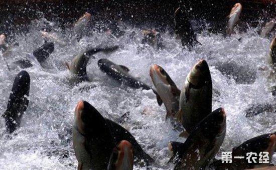 淡水鱼有哪些常见疾病?淡水鱼三大疾病的防治方法