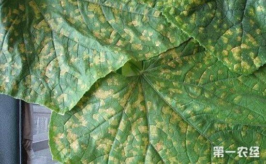 黄瓜有哪些常见病?黄瓜常见病的症状及防治方法