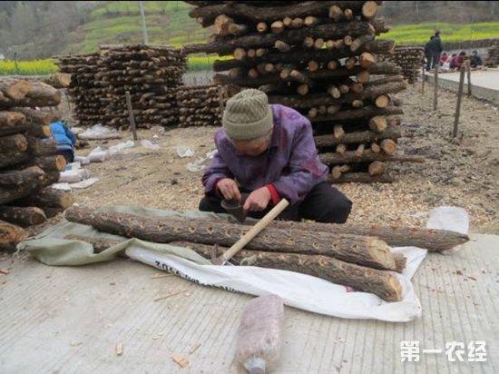 北京怀柔:黑木耳椴木栽培助农增收脱贫