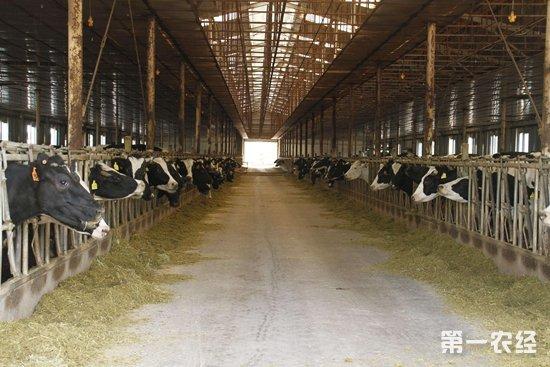 五一农场加快奶牛规模化养殖 发展城郊畜牧业