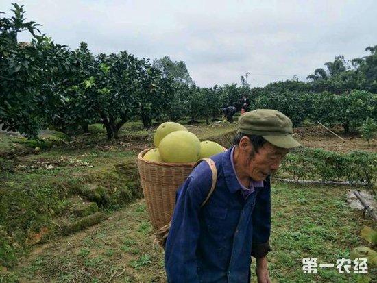 """杭州桐庐:琯溪蜜柚正是丰收时 规模化种植成致富""""法宝"""""""