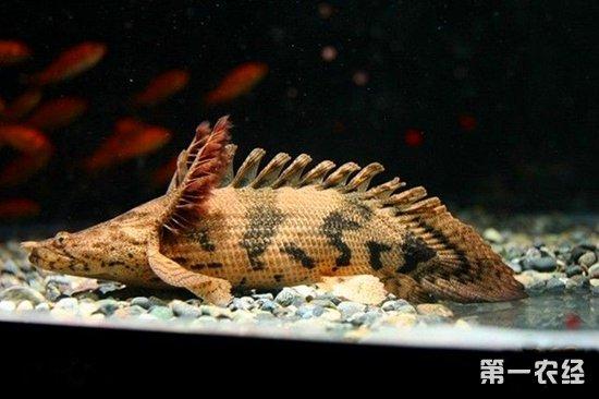 虎纹恐龙王鱼贵吗?虎纹恐龙王鱼价格