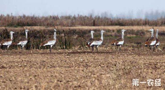 黄河湿地迎来国家一级保护动物大鸨