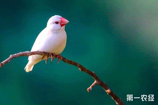 入门级手玩鸟:白文鸟|白文鸟价格