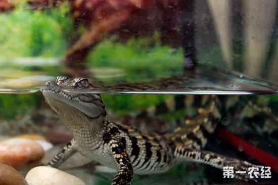 宠物鳄鱼(泰国鳄)能长到多大?泰国鳄价格