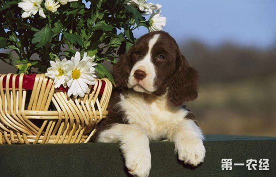 英国史宾格犬多少钱一只?