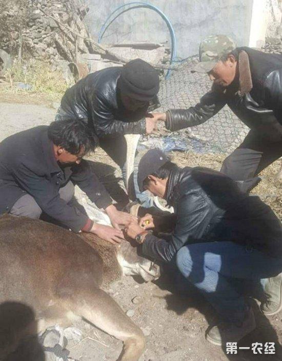 """动物也有灵性!白唇鹿眼睛受伤下山""""求助"""""""