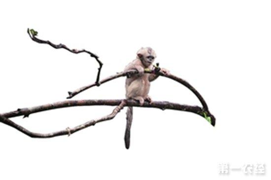 滇金丝猴动态监测项目启动
