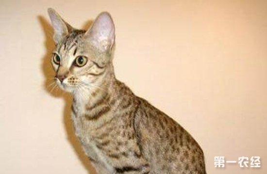 奥西猫多少钱一只?