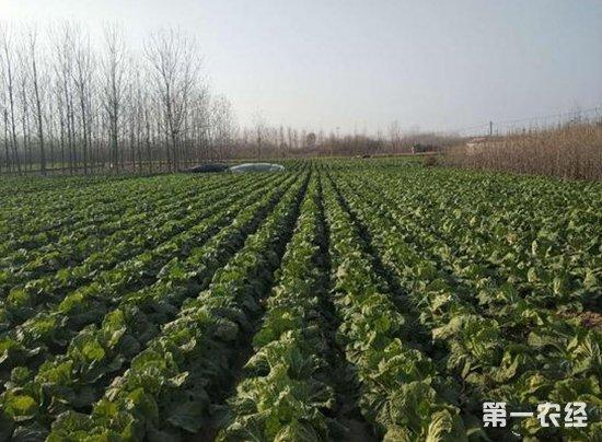 山东郯城:2000余亩大白菜滞销 爱心行动发起接力援助