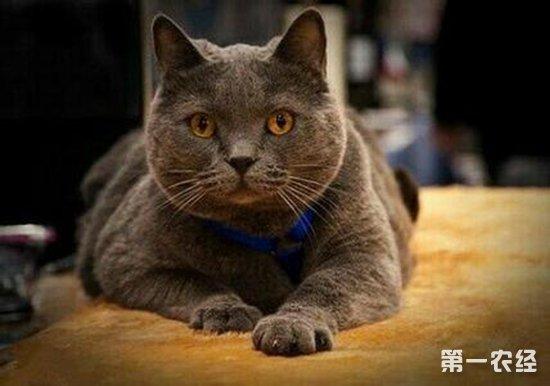 世界三大蓝猫之一沙特尔猫多少钱才能带回家?