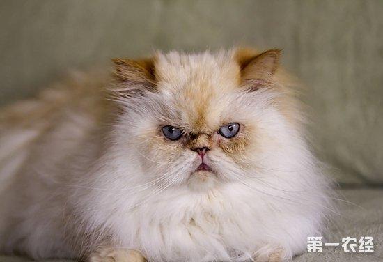 喜马拉雅猫多少钱才能买到?