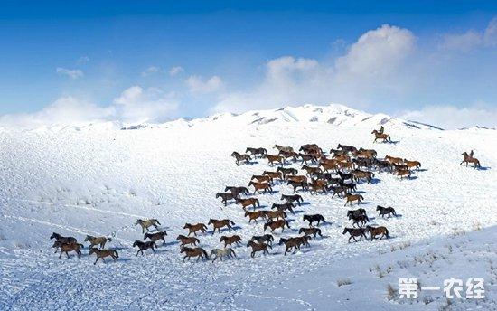伊犁昭苏:养马产业助农增收致富