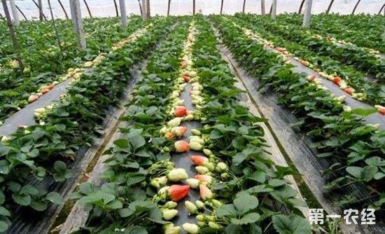 温室草莓着色不良怎么预防?