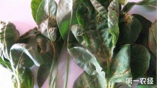 花生卷叶是病毒还是疮痂?