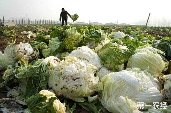 夏邑火店乡:200多亩白菜滞销地里 农户盼购买减少损失