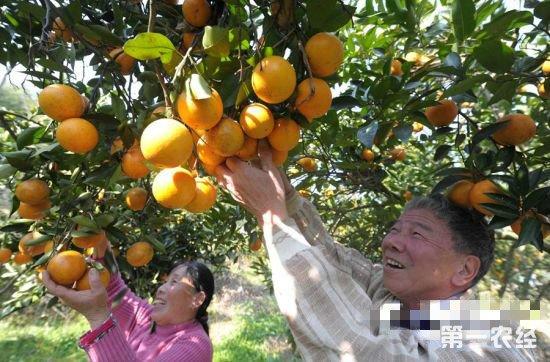 """福州晋安:从滞销到畅销 日溪柑橘打了""""翻身仗"""""""