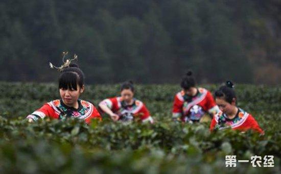 松桃尖峰茶业董事长杨莉:6年风雨历程带领村民走向致富路