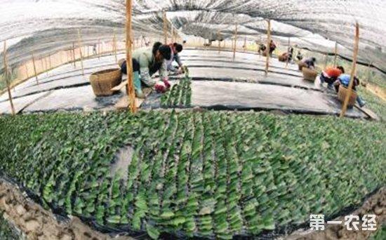 """广西柳州:绿色茶园成百姓脱贫致富的""""摇钱树"""""""