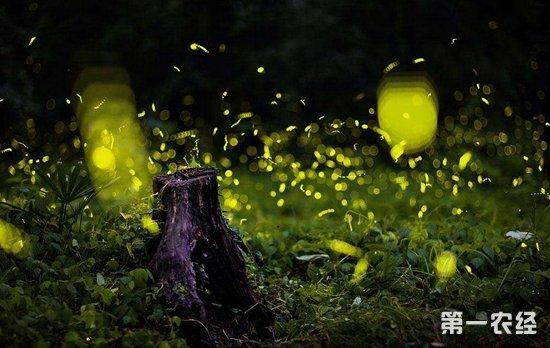 萤火虫为什么会发光 萤火虫发光的目的