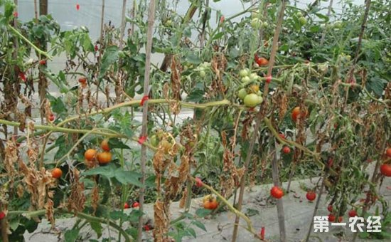 什么是番茄枯萎病?番茄枯萎病的有效防治技术