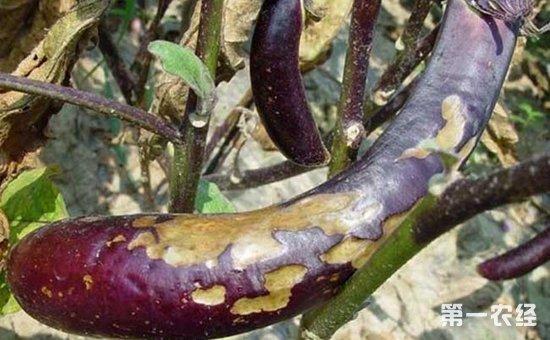大棚茄子菌核病的发病症状及综合防治技术