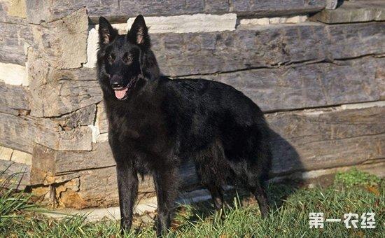 比利时牧羊犬好养吗?比利时牧羊犬怎么养?