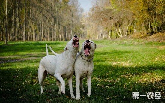 盘点最凶猛的猛犬|世界十大猛犬排名