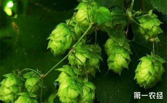 什么是啤酒花霜霉病?啤酒花霜霉病的发病原因及防治措施