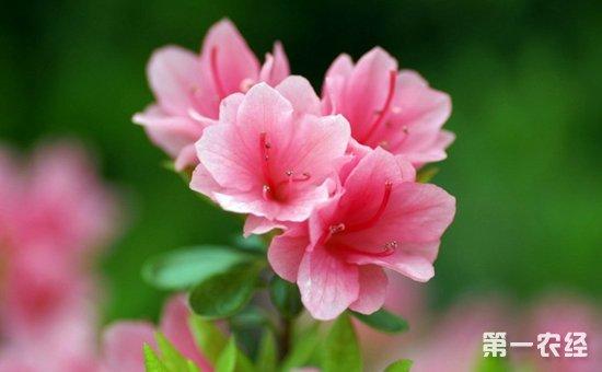 杜鹃花如何种植?杜鹃花栽培的四宜四忌