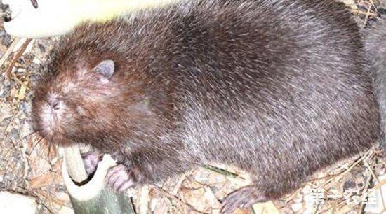 怎样判断母竹鼠是否怀孕