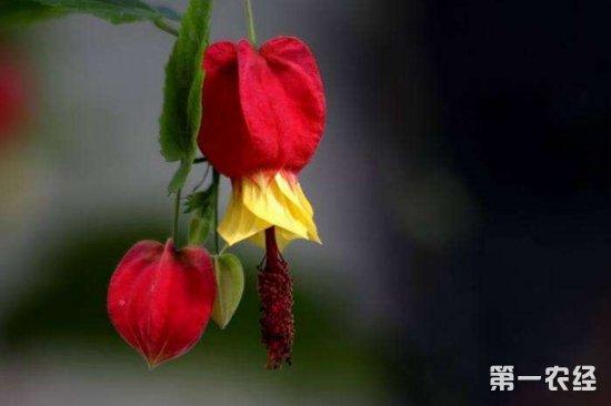 蔓性风铃花的养殖方法及注意事项